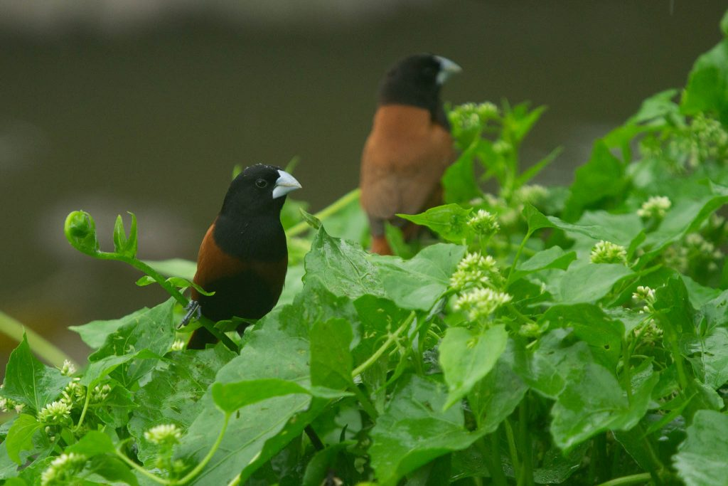 Chest-nut Munia