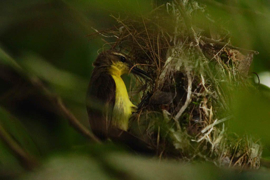 Female Tamsi Sunbird nesting
