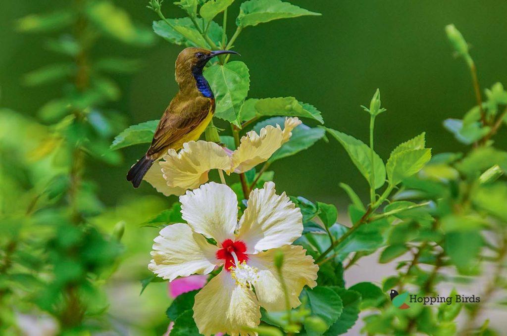Tamsi Sunbird on garden gumamela flower