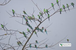 Blue-throated Bee-eater Tagum City
